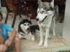Siberian Husky, both 2 years old, male is grey/white, blue eyes... female is black/white, brown eyes
